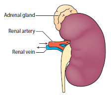 Kidney outside