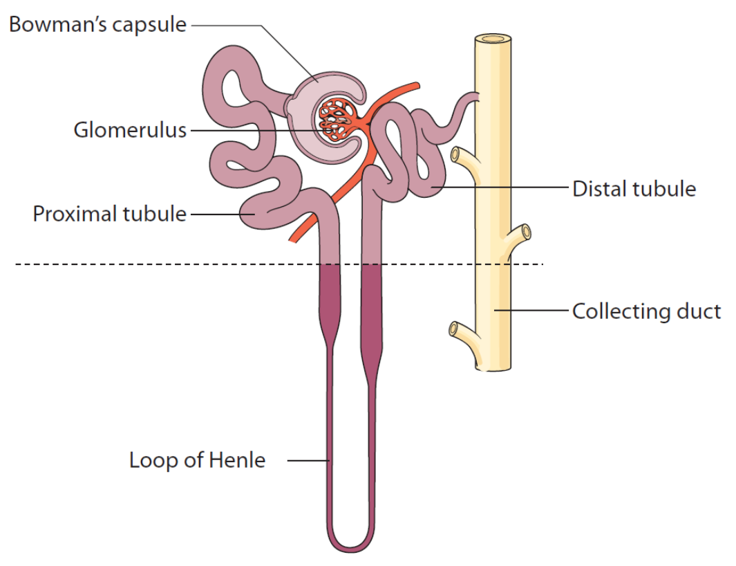 Nephron - with glomerulus and renal tubule