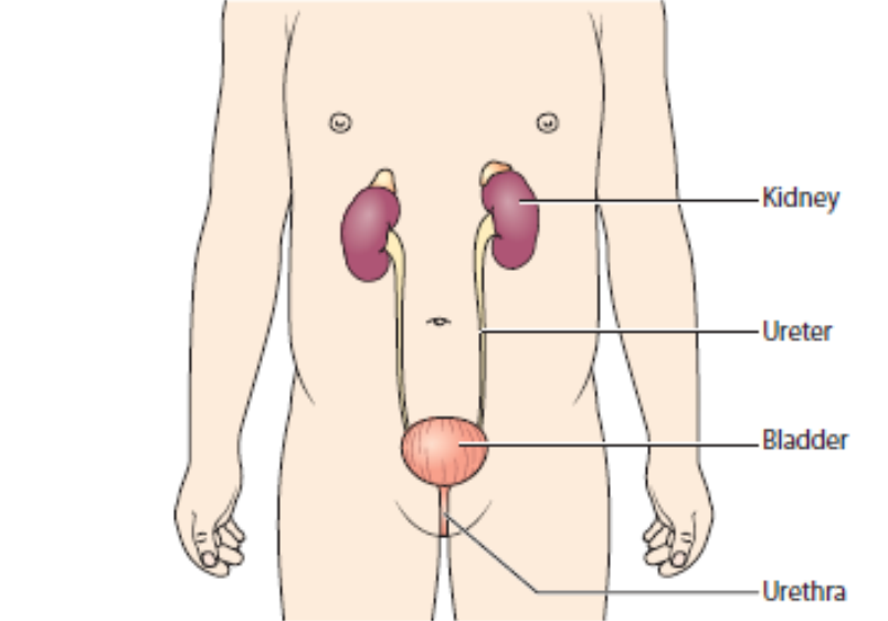 The urinary system gets rid of things that the body no longer needs so    Vesicostomy